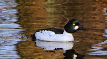 Sortie nature: Les oiseaux Hivernants du lac de Sedan