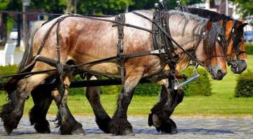 Concours utilisation chevaux de trait